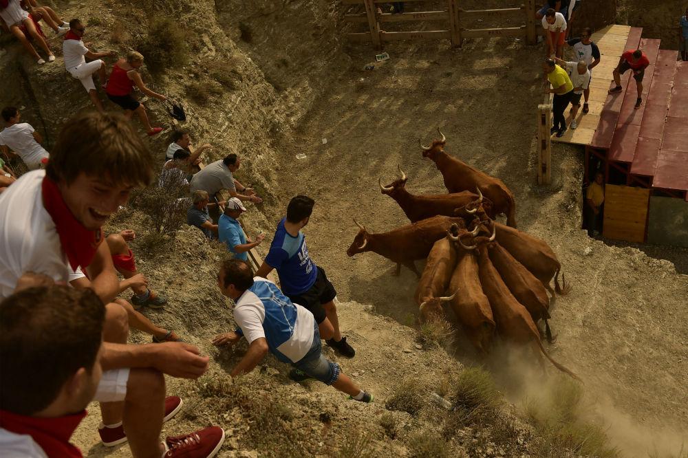 西班牙聖埃斯特萬節期間,農村居民抓捕奶牛並把它們送回阿格達斯