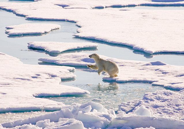 北极地区的白熊