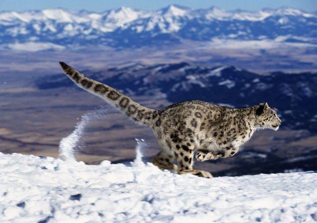 迪卡普里奥呼吁塔吉克斯坦等国保护雪豹