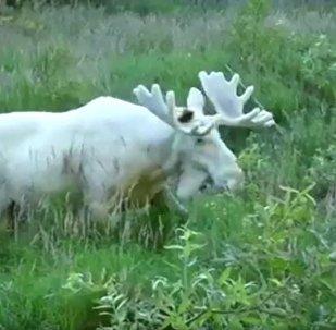 瑞典发现罕见白色驼鹿