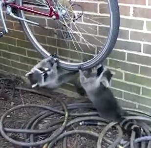 小浣熊争玩自行车轮 不惜大打出手