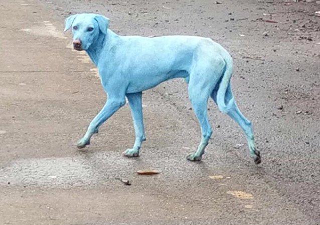 """""""蓝色的""""狗"""