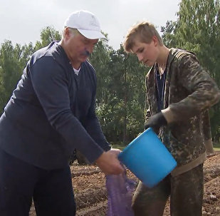 白俄罗斯总统帮助采收土豆