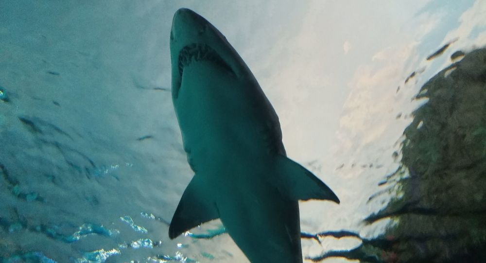 媒体:500多岁格陵兰鲨现身北大西洋