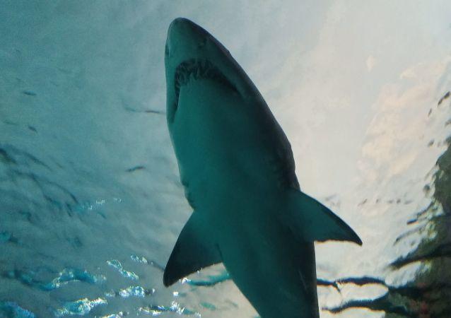 媒體:500多歲格陵蘭鯊現身北大西洋