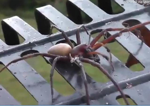 新西兰一农民偶遇12厘米长的蜘蛛 用耙子将其弄走