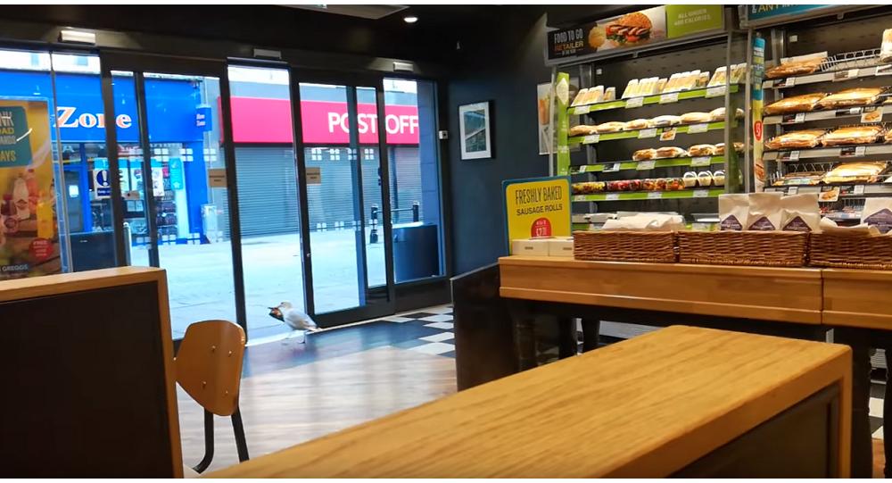 海鸥成功偷窃食物(视频)