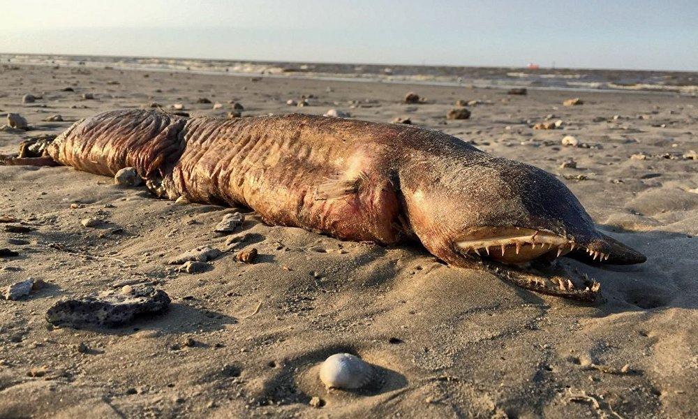 Мертвое морское существо на пляже в Техасе после урагана Харви