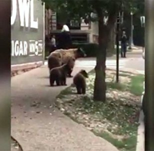 美国科罗拉多州一家熊进城散步