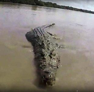 实拍世界最大鳄鱼张开血盆大口