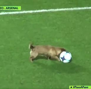 一只会控球的小狗闯进阿根廷球场
