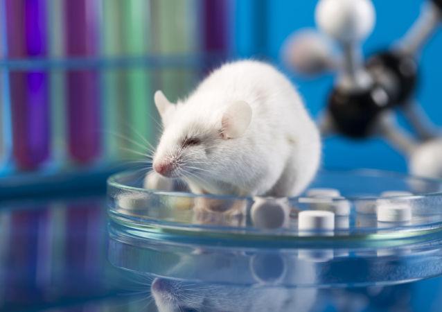 俄罗斯科学家借助老鼠大脑研制抗中风药物