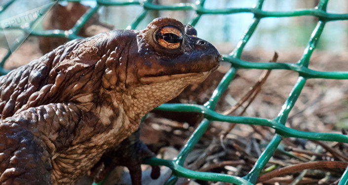 史上最大青蛙以恐龙为食