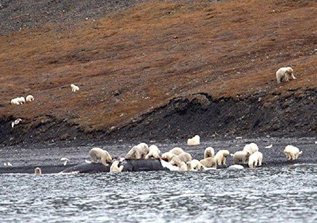 游客们在楚科奇看到230只北极熊