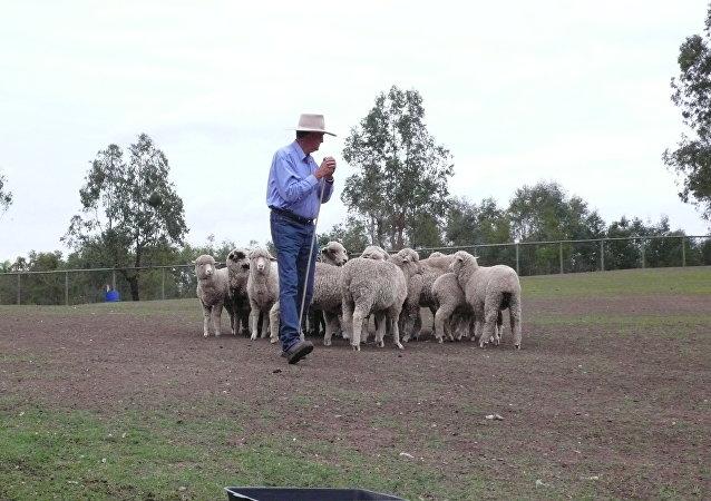 Овцы на ферме в Австралии