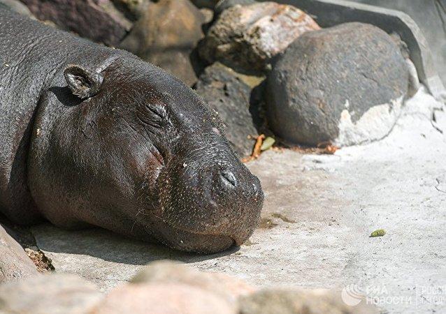 纳米比亚国家公园100多只河马可能因炭疽爆发而死亡