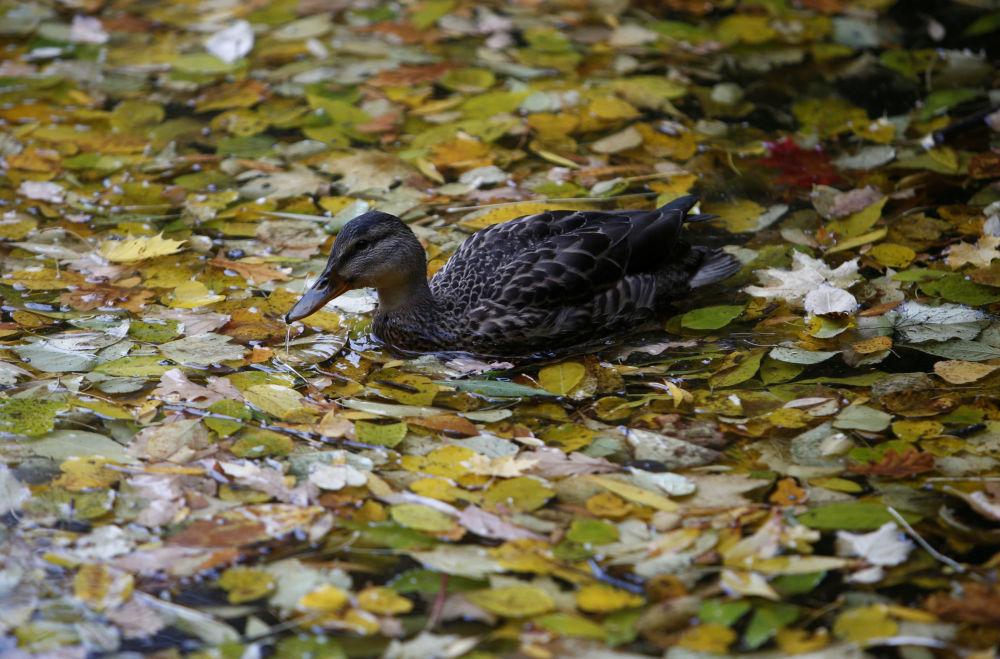 莫斯科涅斯庫奇內公園池塘上的鴨子