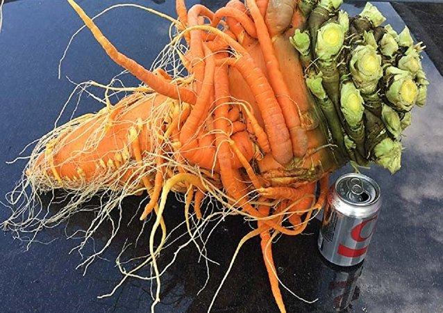 美国一名农场主的巨型胡萝卜入选吉尼斯纪录