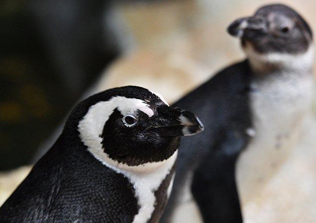 南极3.6万只企鹅活活饿死
