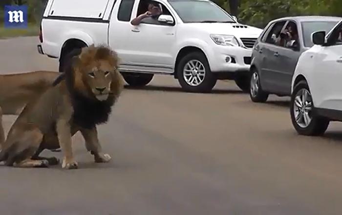 南非一头狮子意想不到的举动吓坏了游客