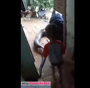 越南3岁男童与80公斤巨蟒嬉笑玩耍