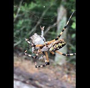蜘蛛攻击青蛙让美国人歇斯底里(视频)