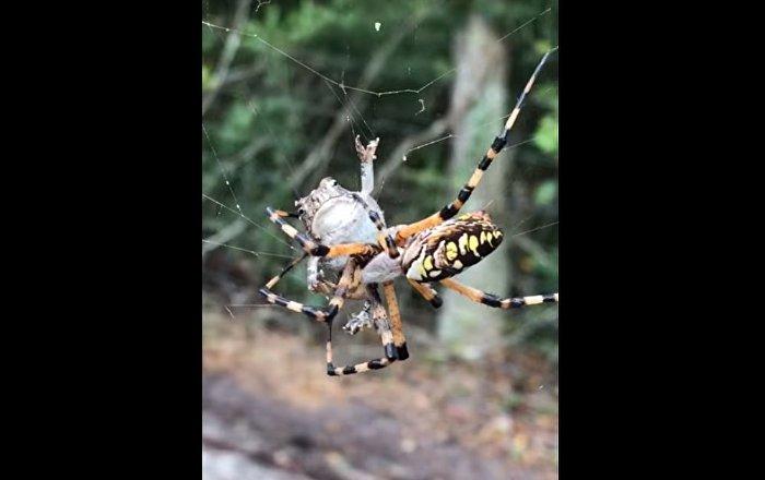 蜘蛛攻擊青蛙讓美國人歇斯底里(視頻)
