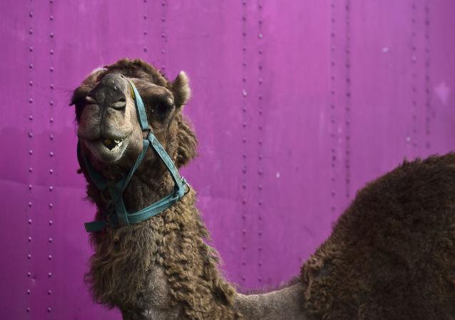 美国有7人因杂技团骆驼而受伤