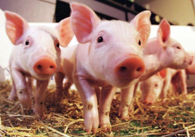 中国科学家创造出了低脂转基因小猪