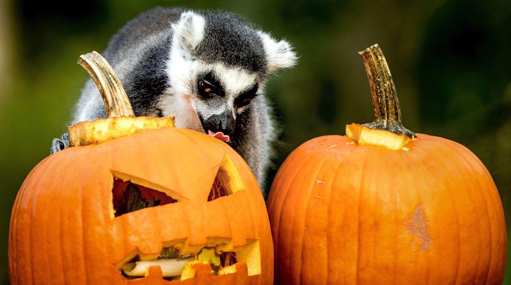 狐猴试着拿出藏在南瓜里的美食,荷兰