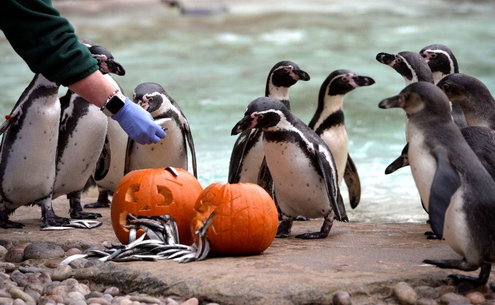 企鹅聚集在南瓜周围,伦敦