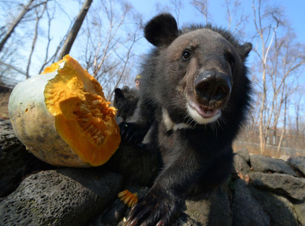 一只小黑熊在吃南瓜,滨海边疆区野生动物园