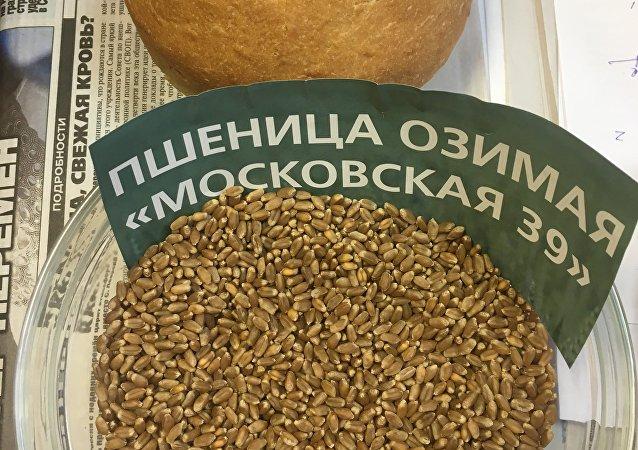 俄罗斯培育出不怕严寒的小麦