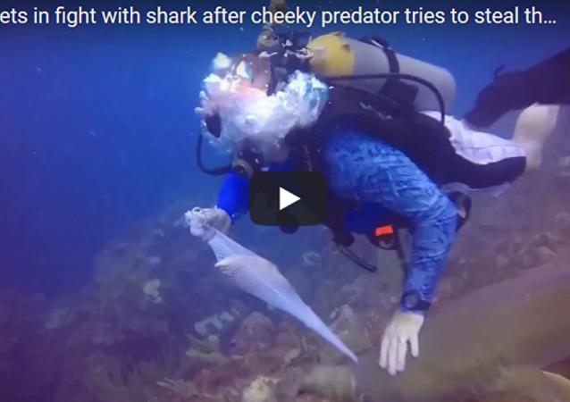 潜水者和鲨鱼为一条鱼争抢不休