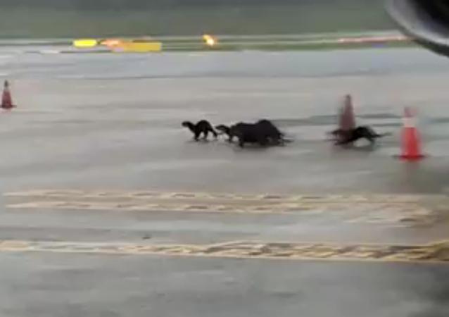 水獭组团出没 机场险些瘫痪