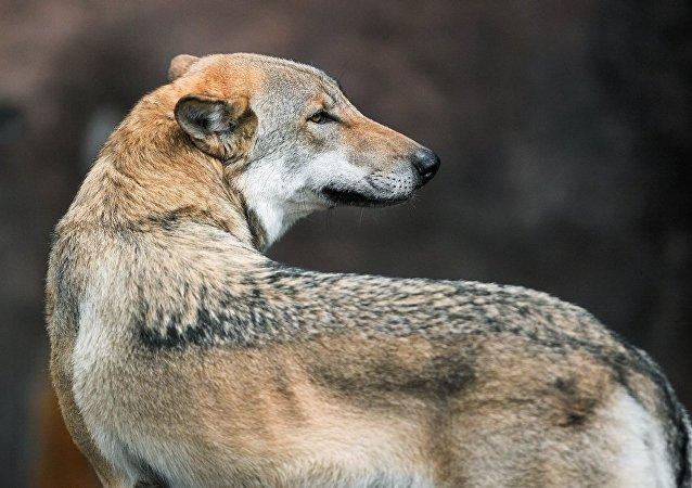 哈尔滨极地馆从塞尔维亚引进五只野生北极狼
