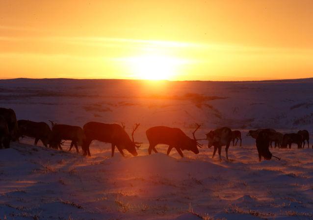在挪威三天内有100多只鹿在与列车相撞时死亡