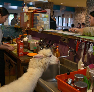 台湾羊驼咖啡馆