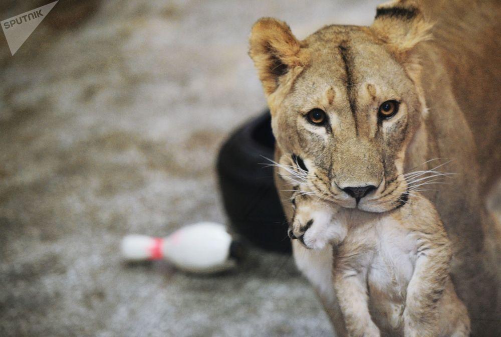 非洲一隻名叫「艾瑪」的母獅子和她於9月30日生下的三隻小獅子在葉卡捷琳堡動物園裡