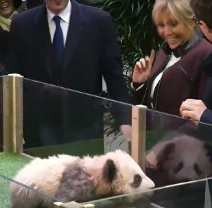 法国第一夫人宣布了出生在法国的熊猫的名字(视频)