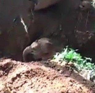 印度的一隻落入深坑的小象在挖掘機的幫助下被救出(視頻)