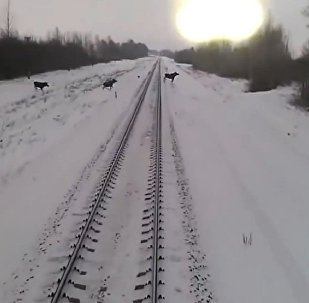 横穿铁路的驼鹿(视频)