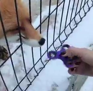 来自俄罗斯动物园的狐狸学会了玩指尖陀螺(视频)
