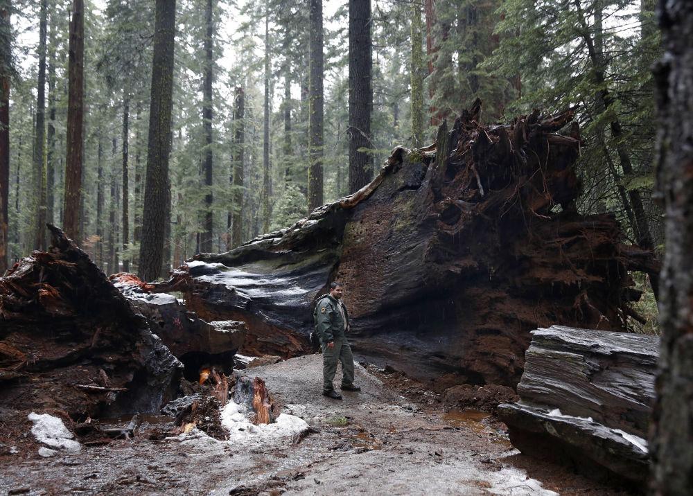 """美国加州著名的千年红彬""""先锋小屋树""""(Pioneer Cabin Tree)被飓风击倒。"""