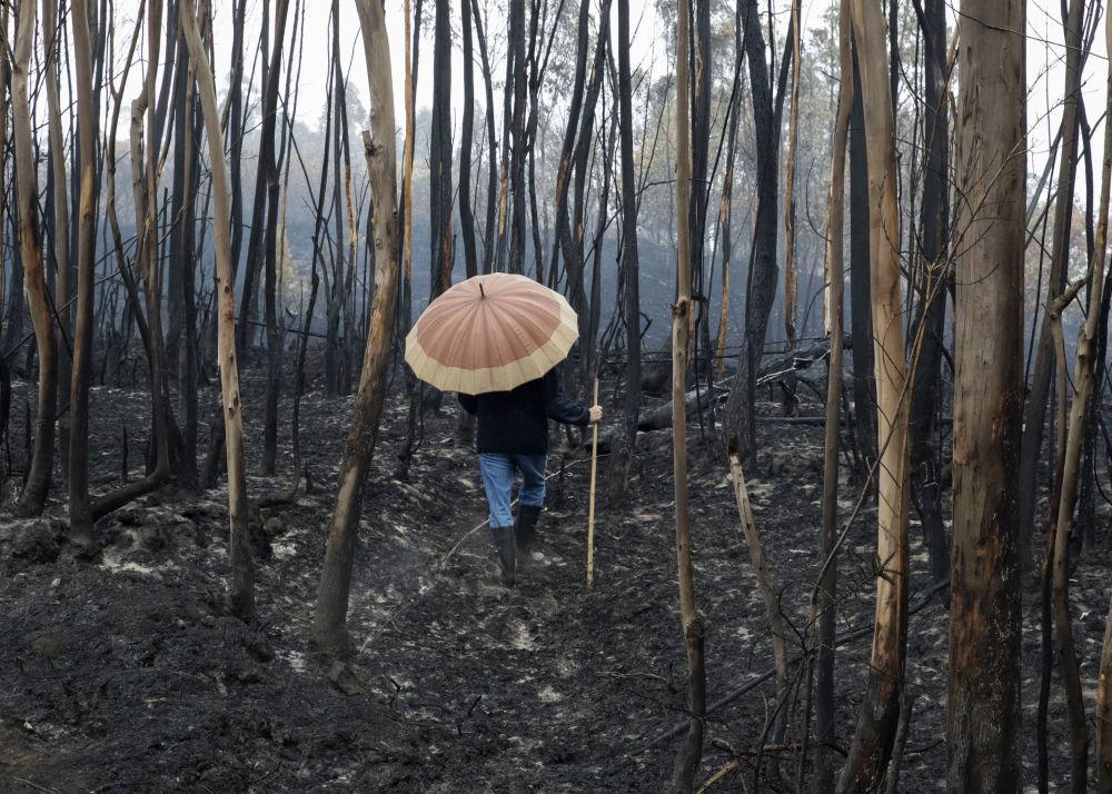 西班牙大火过后烧焦的树林
