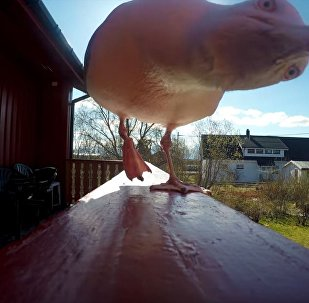摄影师找到半年前被海鸥偷走的摄像机(视频)