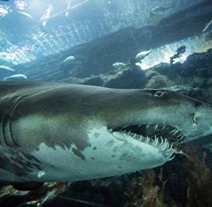 一中國公民企圖將史前鯊魚牙齒帶離俄境