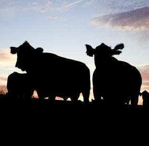 俄罗斯和中国在托木斯克州开设养牛场