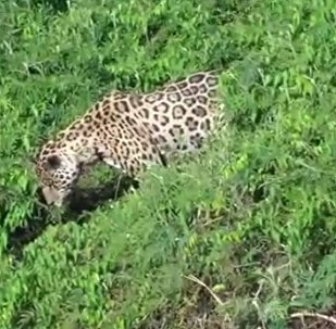 美洲豹VS凱門鰐(視頻)