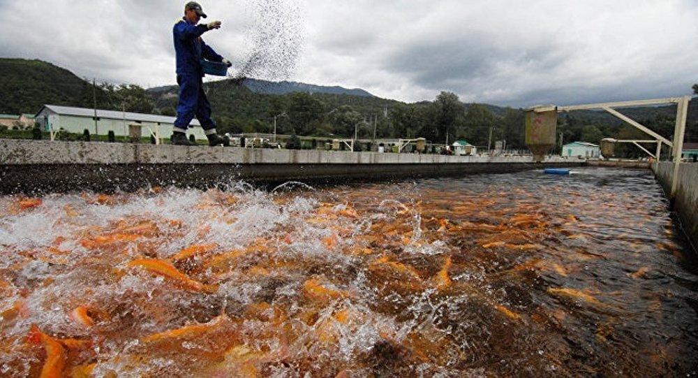 中国企业拟在滨海边疆区开展用于水产养殖的鱼苗生产